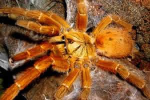 Image 2 of Northampton Reptile Centre - Spiders For Sale