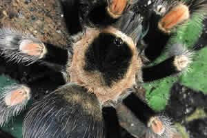 Image 6 of Northampton Reptile Centre - Spiders For Sale