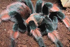 Image 7 of Northampton Reptile Centre - Spiders For Sale