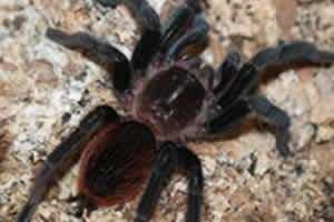 Image 8 of Northampton Reptile Centre - Spiders For Sale