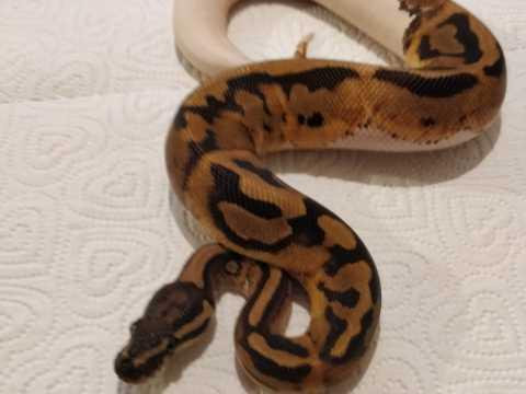 Preview of the first image of Male Pied ball python Royal python snake.