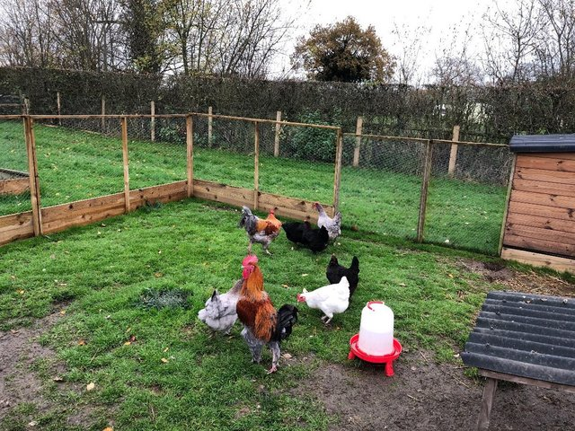 Image 2 of French Copper Maran Hatching Eggs, Fertile Chickens