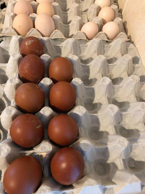 Image 3 of French Copper Maran Hatching Eggs, Fertile Chickens