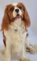 Image 2 of Extensively Health Tested Cavalier King Charles Spaniel Stud