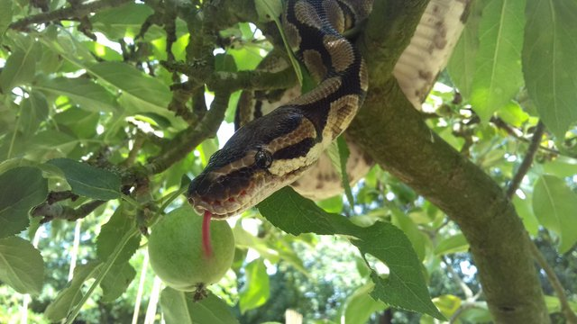 Preview of the first image of Royal/ball python Rescue and rehome.