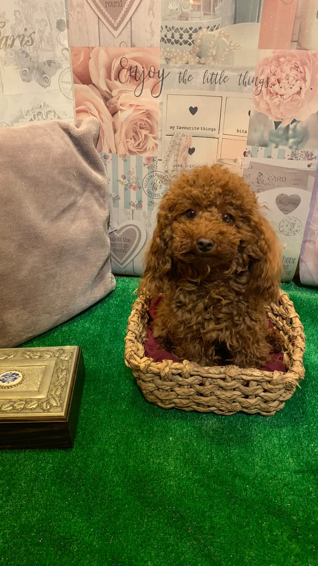 Image 2 of Extensively Health Tested Deep Red Toy Poodle Stud