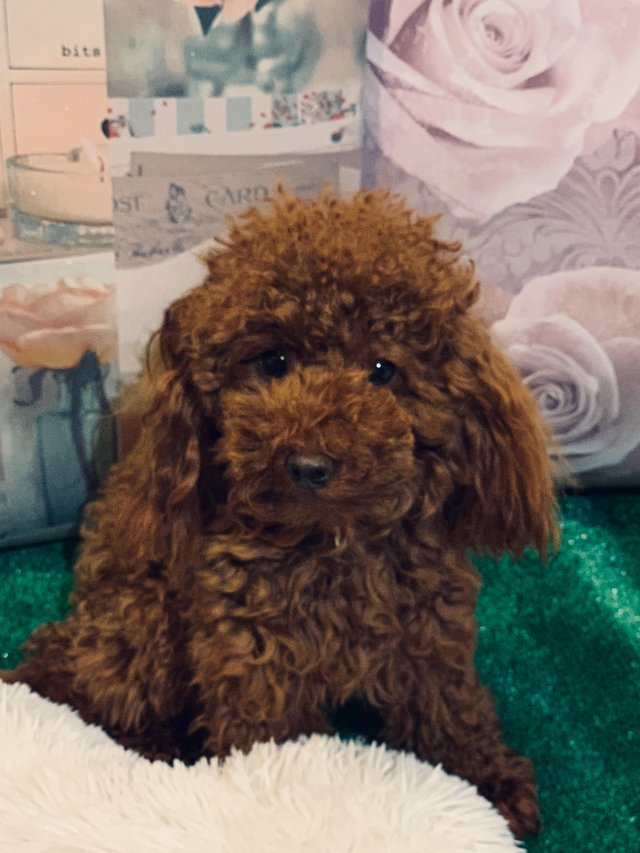 Image 4 of Extensively Health Tested Deep Red Toy Poodle Stud
