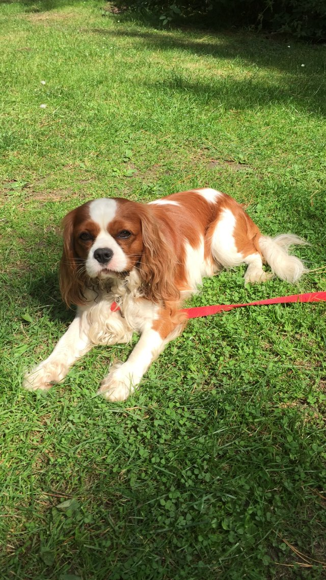 Preview of the first image of Extensively Health Tested Cavalier King Charles Spaniel Stud.