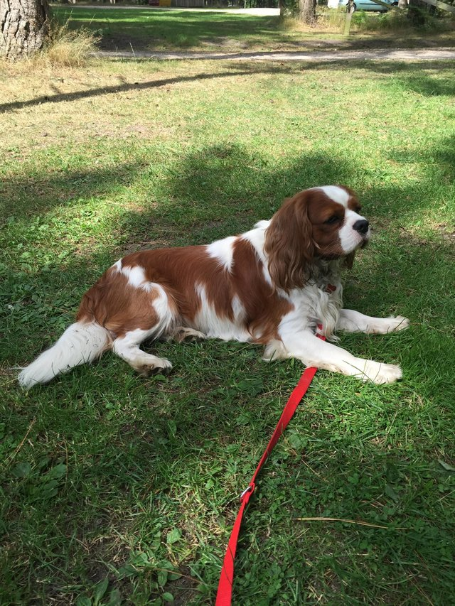 Image 3 of Extensively Health Tested Cavalier King Charles Spaniel Stud