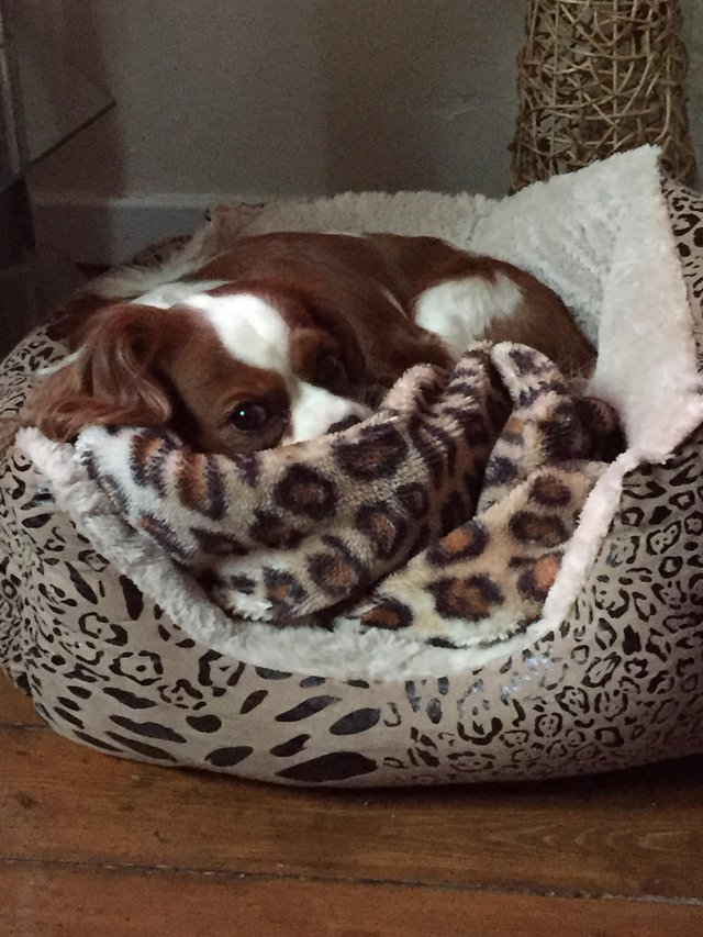 Image 5 of Extensively Health Tested Cavalier King Charles Spaniel Stud