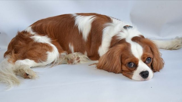 Image 6 of Extensively Health Tested Cavalier King Charles Spaniel Stud