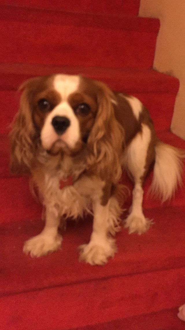 Image 7 of Extensively Health Tested Cavalier King Charles Spaniel Stud