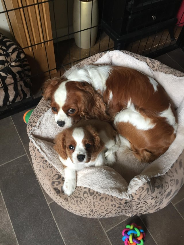 Image 8 of Extensively Health Tested Cavalier King Charles Spaniel Stud