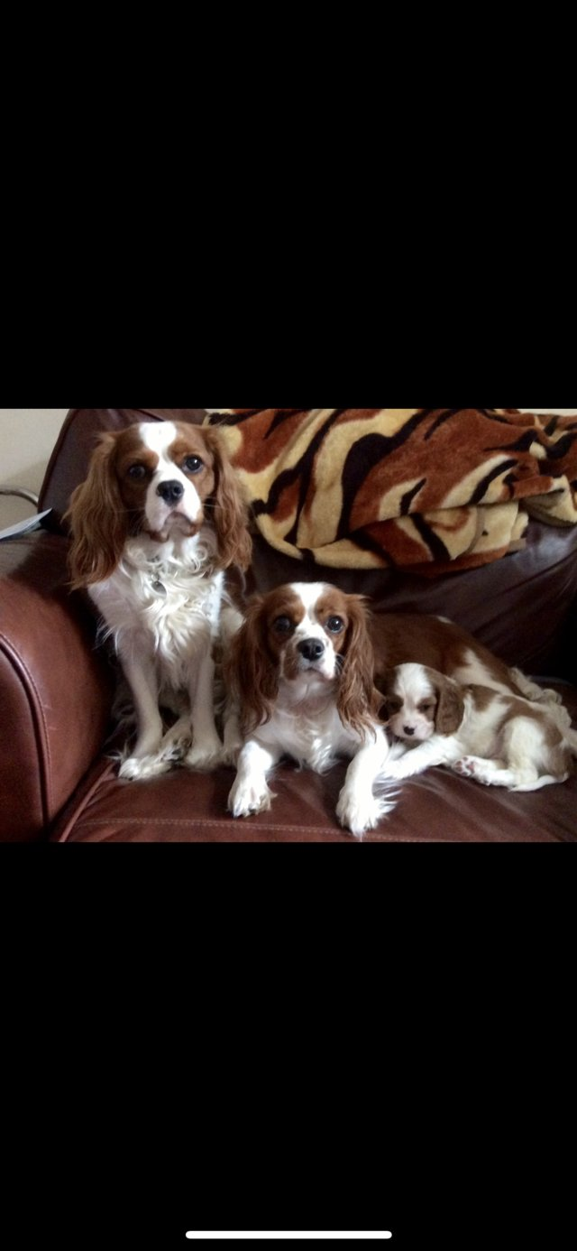 Image 9 of Extensively Health Tested Cavalier King Charles Spaniel Stud