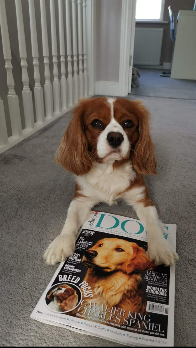Image 11 of Extensively Health Tested Cavalier King Charles Spaniel Stud