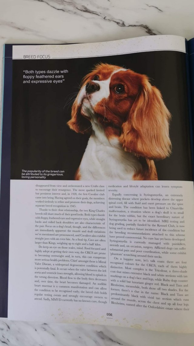Image 12 of Extensively Health Tested Cavalier King Charles Spaniel Stud