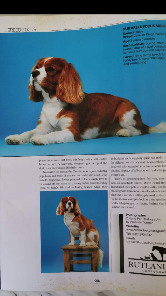 Image 13 of Extensively Health Tested Cavalier King Charles Spaniel Stud