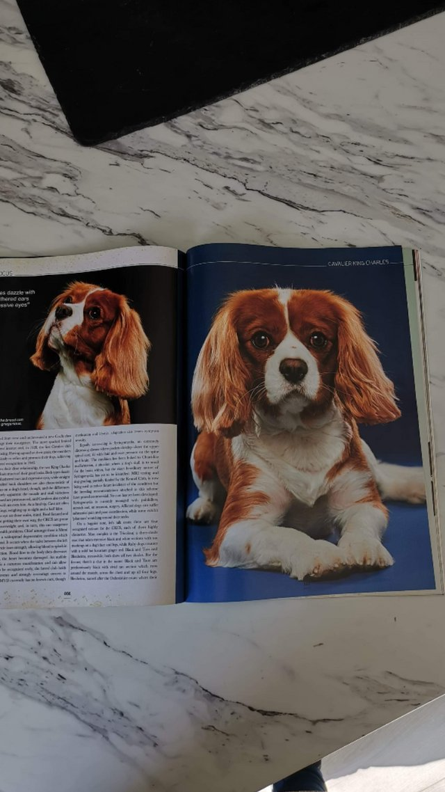 Image 14 of Extensively Health Tested Cavalier King Charles Spaniel Stud