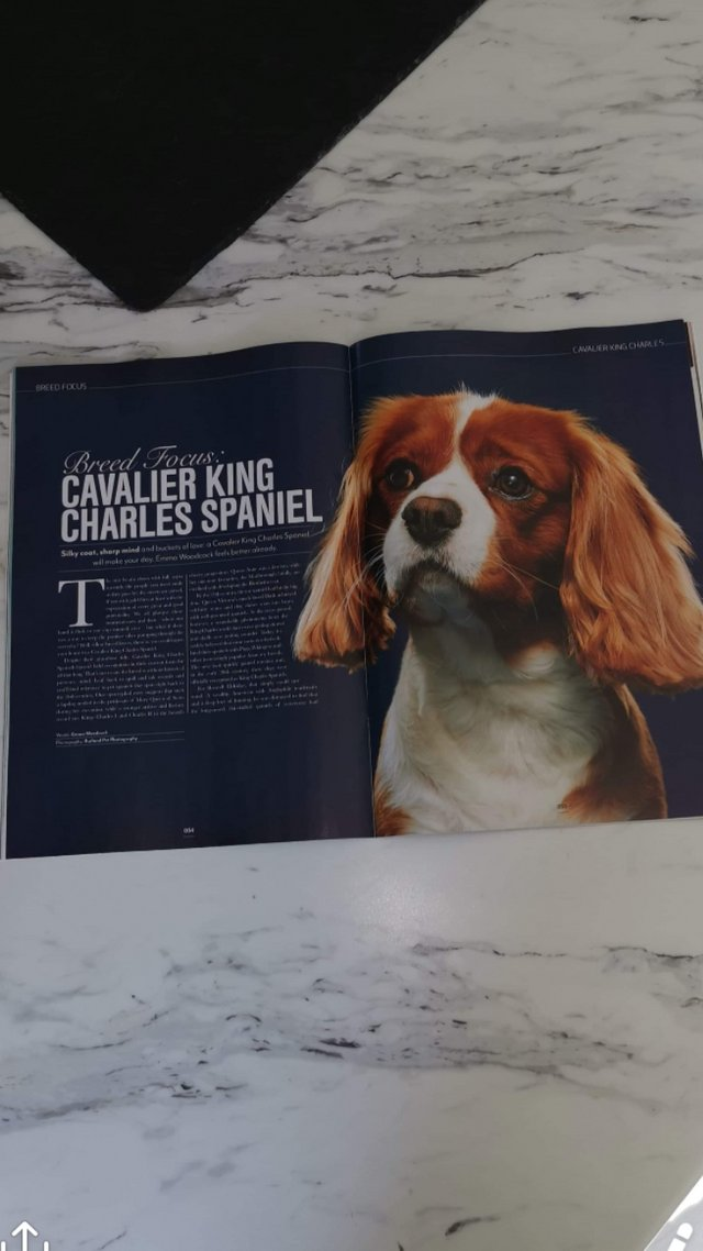 Image 15 of Extensively Health Tested Cavalier King Charles Spaniel Stud