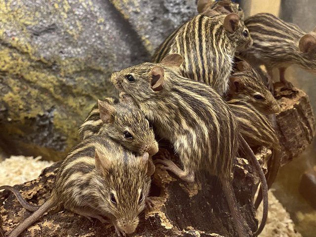 Preview of the first image of Baby African stripped mice.