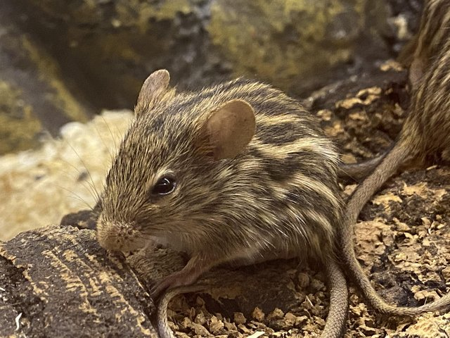 Image 2 of Baby African stripped mice