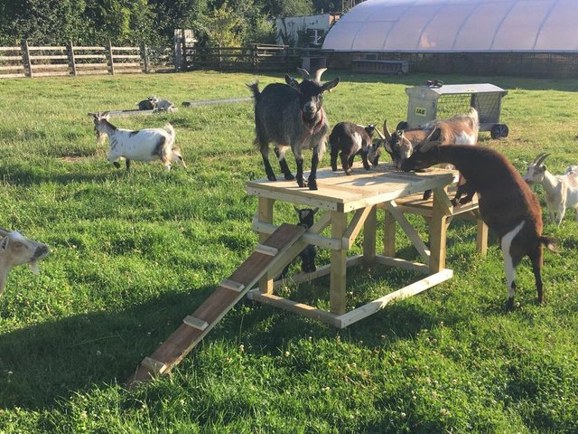 Preview of the first image of Goat/dog activity play ramp - Wynnes Of Dinmore.