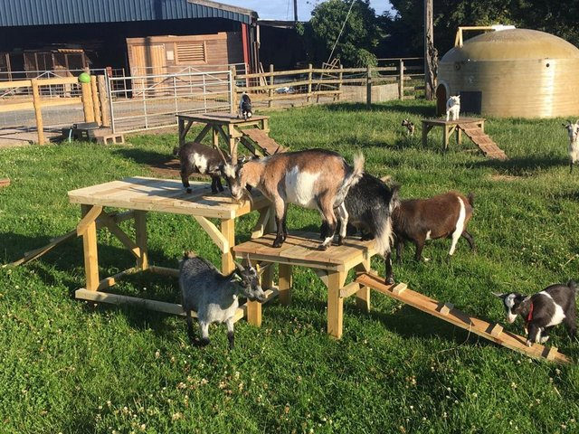 Image 2 of Goat/dog activity play ramp - Wynnes Of Dinmore