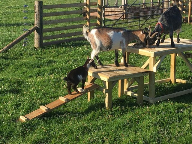 Image 3 of Goat/dog activity play ramp - Wynnes Of Dinmore