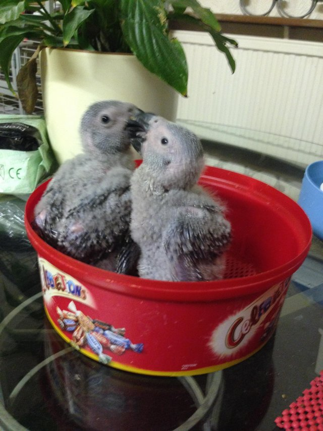 Preview of the first image of Congo African grey parrot babies ( SOLD).