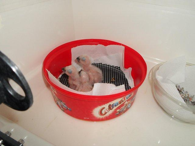 Image 2 of Congo African grey parrot babies ( SOLD)