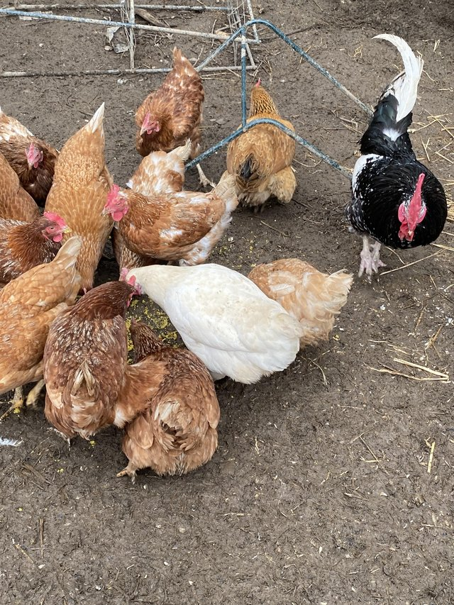 Image 3 of Hatching eggs available lots of breeds