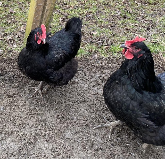 Image 4 of Hatching eggs available lots of breeds