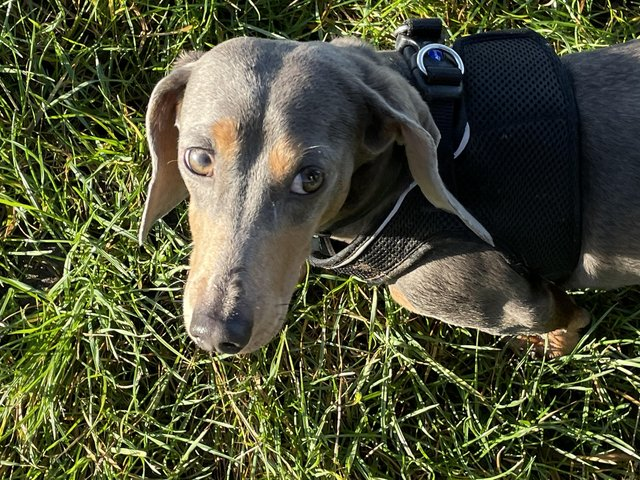 Preview of the first image of STUD blue/tan miniature dachshund.