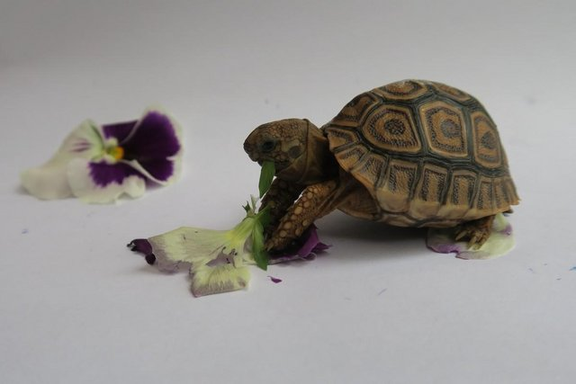 Image 6 of Beautiful baby leopard tortoises - 3+ months old