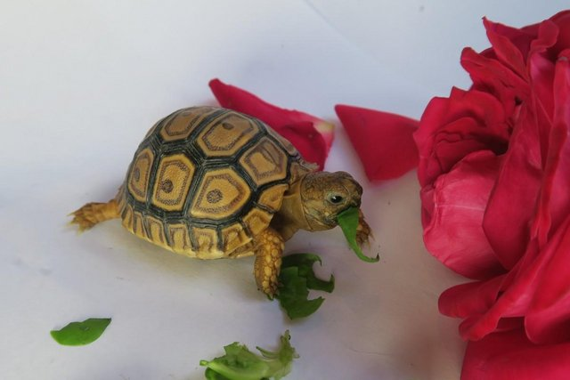 Image 7 of Beautiful baby leopard tortoises - 3+ months old