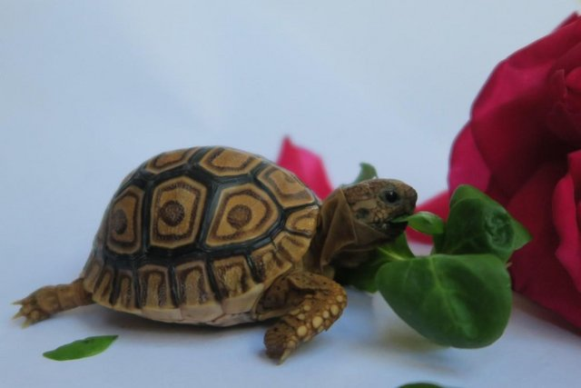 Image 8 of Beautiful baby leopard tortoises - 3+ months old