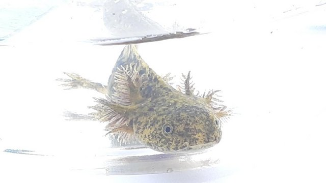 Preview of the first image of Green-Morph Axolotls -Nationwide delivery available.
