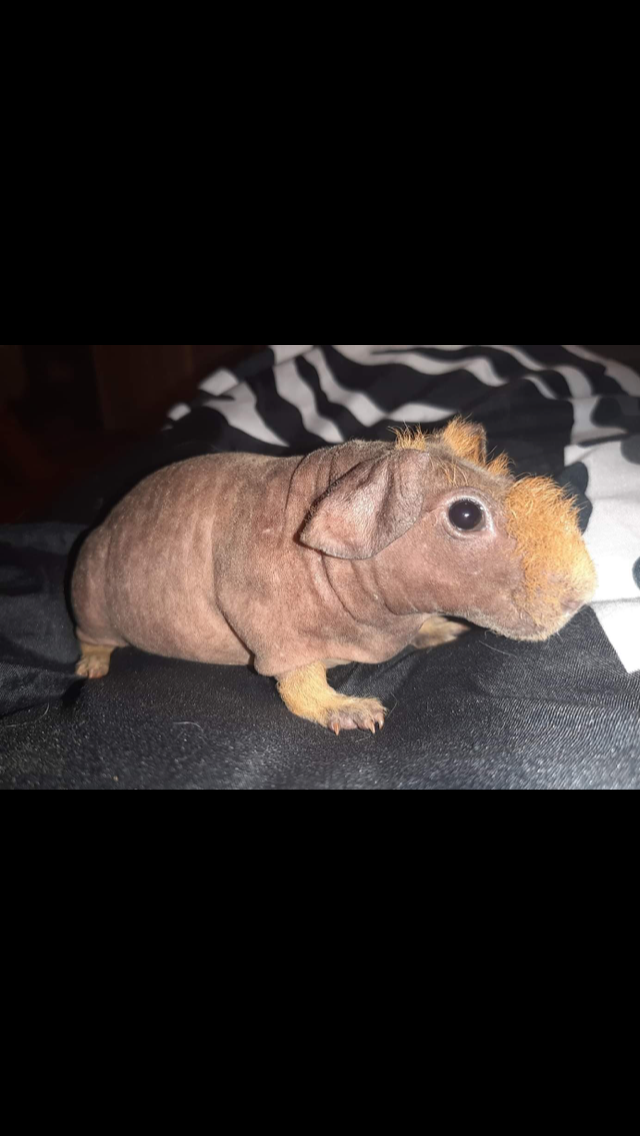 Preview of the first image of Stud skinny pig / (wanted stud skinny pig).