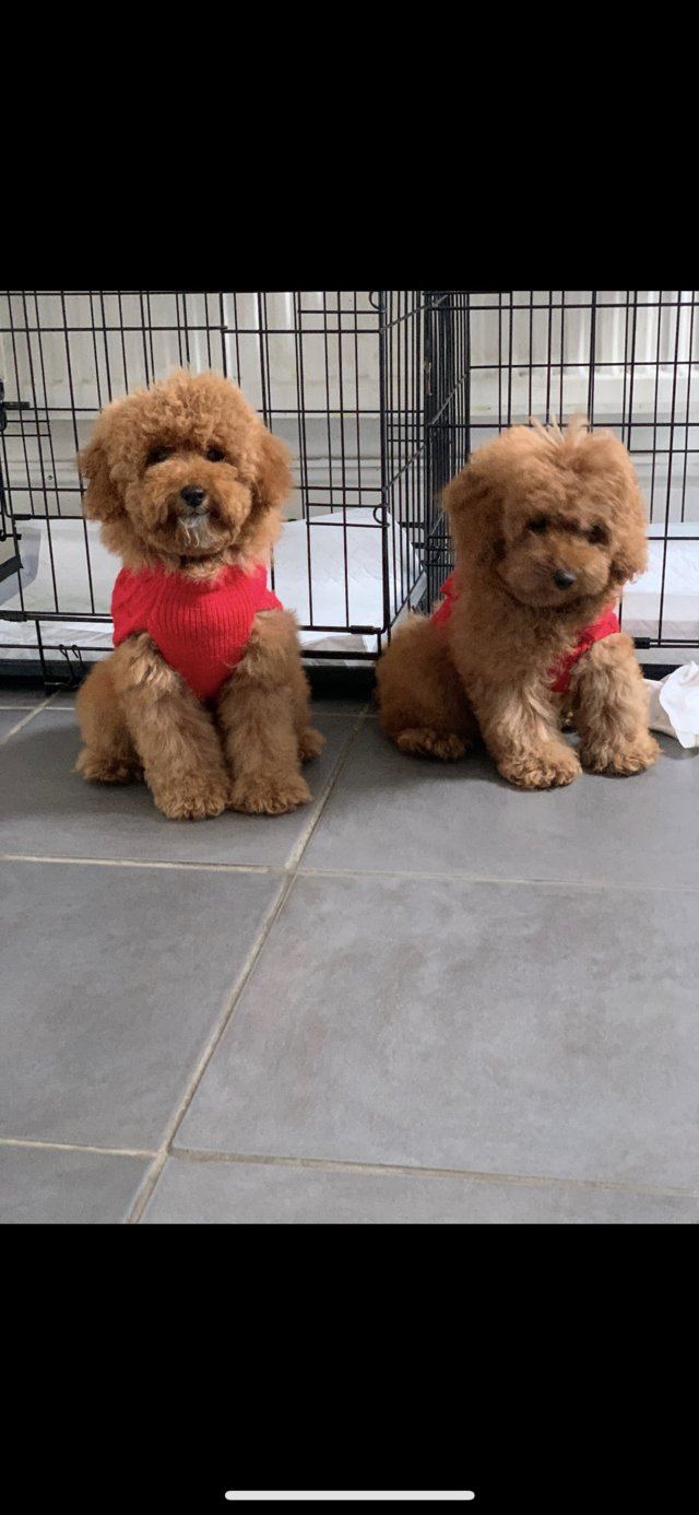 Image 12 of Extensively Health Tested Deep Red Toy Poodle Stud