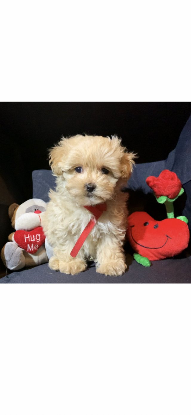 Image 15 of Extensively Health Tested Deep Red Toy Poodle Stud