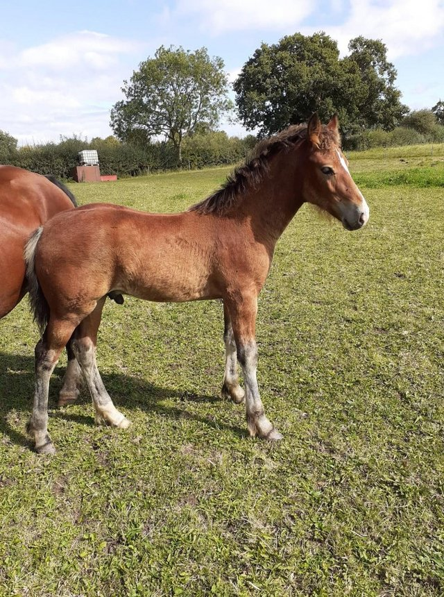 Image 2 of Welsh Cob For Sale