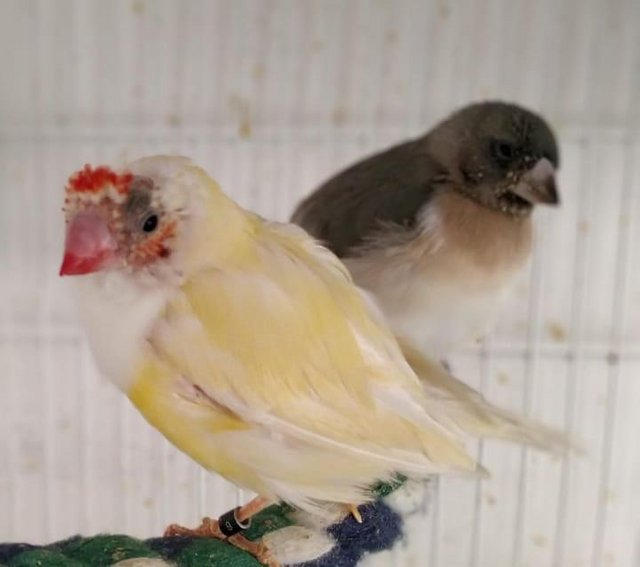 Image 2 of Young lady gouldian finches