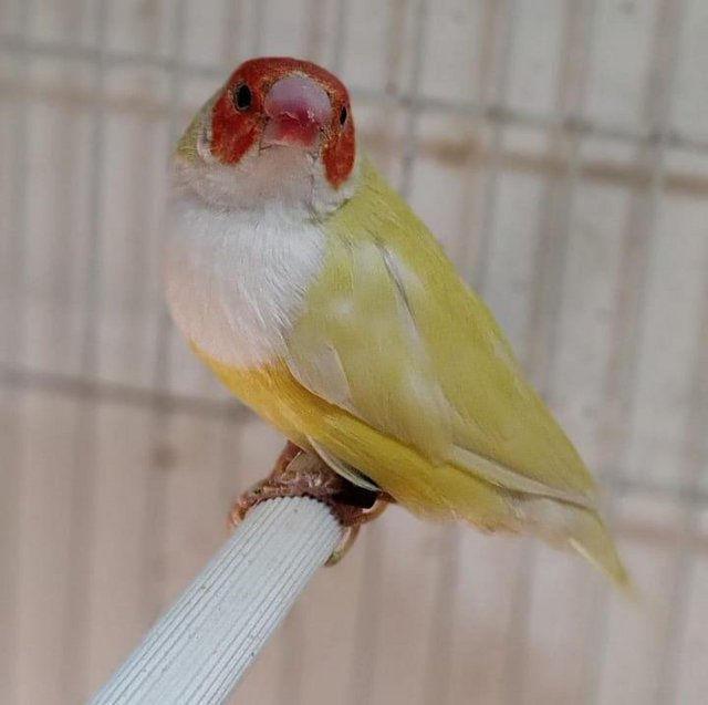 Image 3 of Young lady gouldian finches