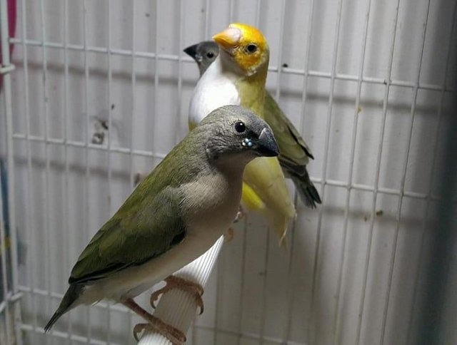 Image 4 of Young lady gouldian finches