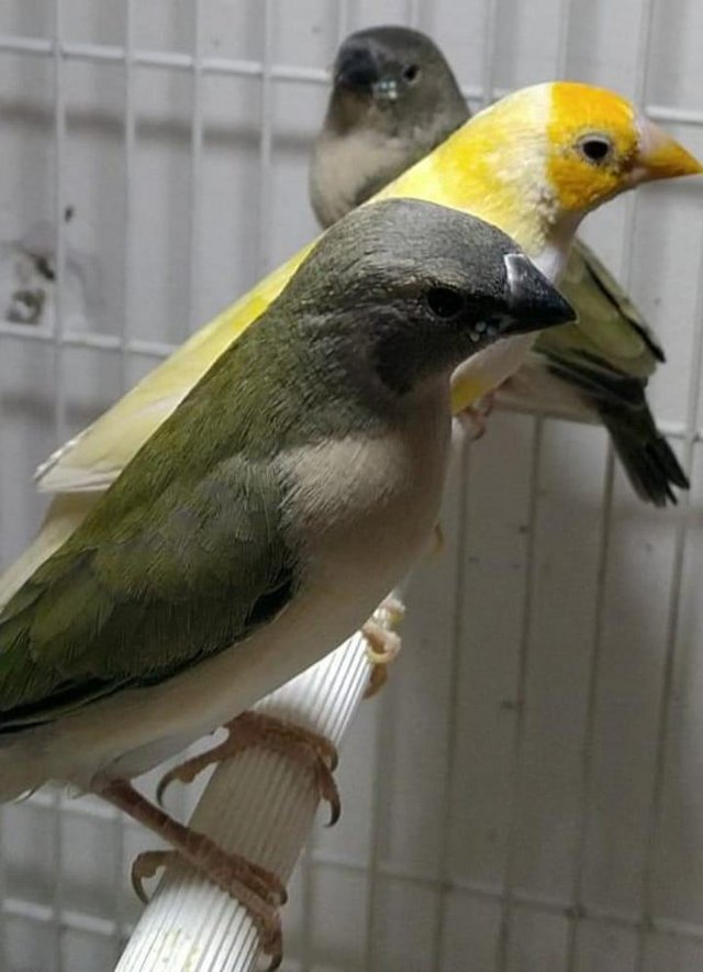 Image 5 of Young lady gouldian finches