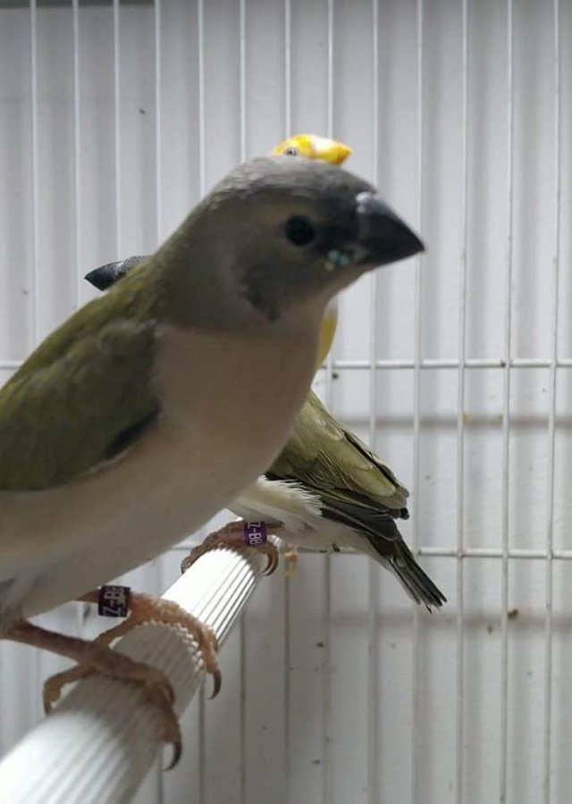 Image 6 of Young lady gouldian finches