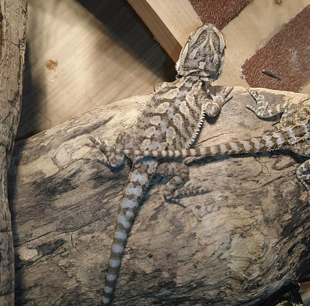 Preview of the first image of Bearded Dragons Ready to Leave Slitherin Reptiles.
