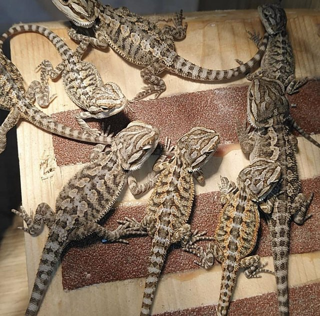 Image 3 of Bearded Dragons Ready to Leave Slitherin Reptiles