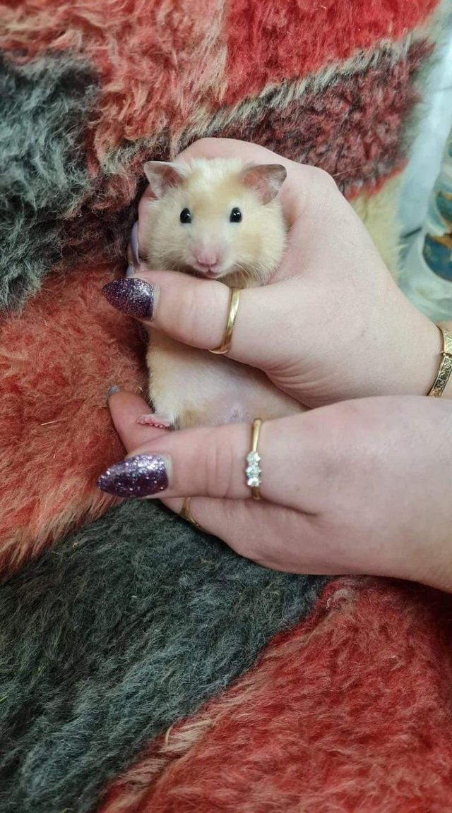Image 2 of Own bred baby tame Syrian hamsters at urban exotics