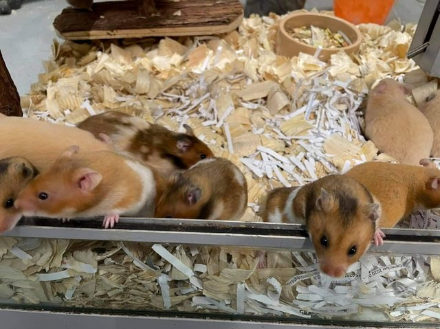 Image 3 of Own bred baby tame Syrian hamsters at urban exotics